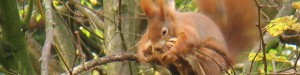 Eichhörnchen mit Lindenbast