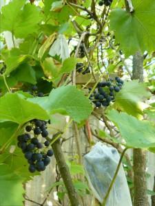 Weintrauben im Beutel