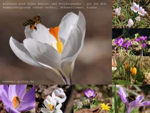 Krokusse und Insekten