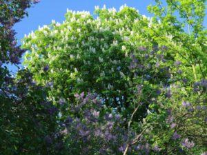 Flieder- und Kastanienblüte