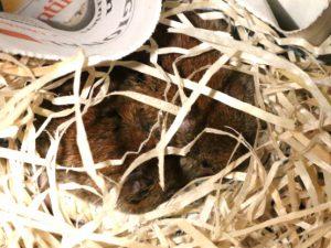 Rötelmäuse schlafen aneinander gekuschelt