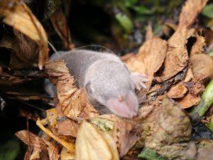 Mäuse im Kompost: Junge Spitzmaus