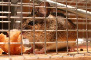 Mäuse lebend fangen