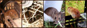 Mäuse fangen und umsiedeln