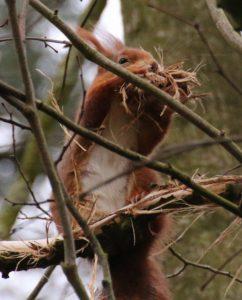 Eichhörnchen sammelt Nistmaterial